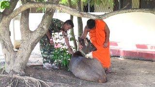 Sambar Deer finds a new home. Kind humans helping animals thumbnail