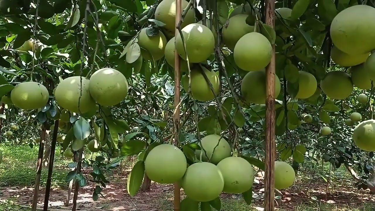 Kinh nghiệm bón phân cho quả bưởi ngon ngọt | Lão Nông Làm Vườn
