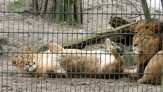 Löwensex 2 - Löwen machen Liebe - Zoo Stralsund