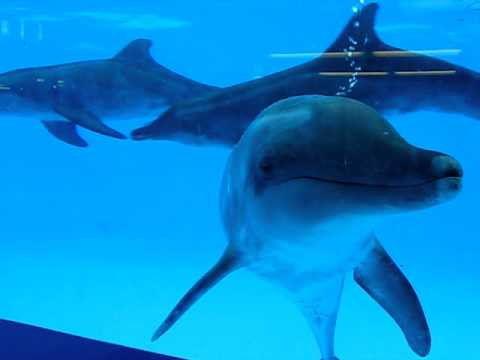 Playful Dolphins In Aquarium Gulf World Marine Park Panama City Beach Florida
