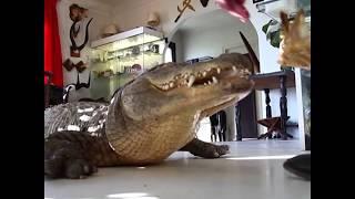 Nuôi cá sấu làm thú cưng ở Pháp (VOA)
