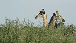 Giraffe's - Tswalu Nature Reserve