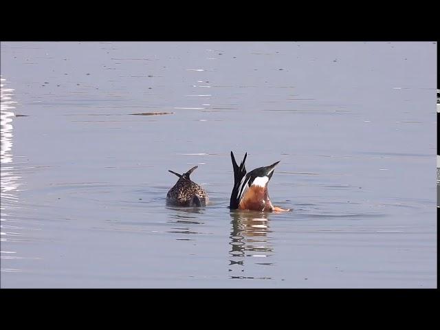 茄萣濕地奧斯卡影集愛情喜劇片-佳人有約琵嘴鴨舞春風