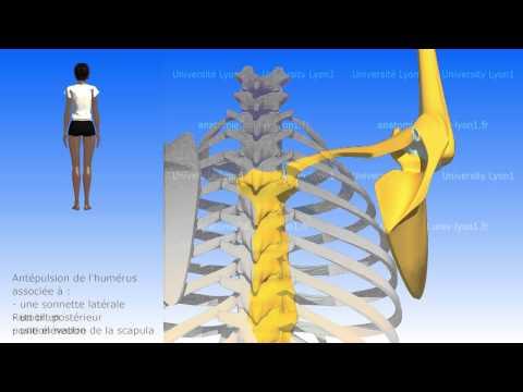 L'épaule: les mouvements de la scapula