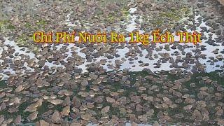 Mô Hình Nuôi Ếch, Nuôi 1 kġ Ếch Thịt Bao Nhiêu Tiền