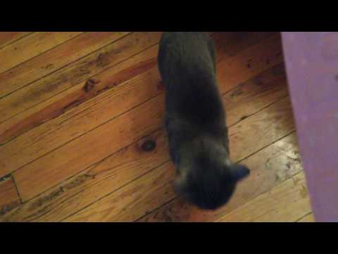 MY KORAT CAT LITTLE FELLA