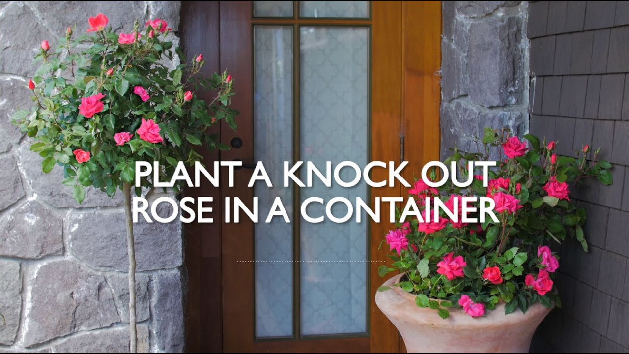 Planting Knock Out Roses In A Container