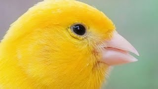 Canary Singing Serinus Canaria
