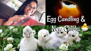 Getting Rare Chickens - Lavender Orpingtons & Candling Duck Eggs - Hal's Hatchlings Series