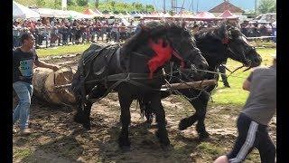 Concurs cu cai de tractiune proba de dublu Gilau, Cluj 8 Iunie 2019 Nou!!!