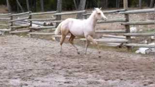 FOR SALE - $2900.  SPP Andys Cleopatra. APHA Palomino Overo Weanling Filly, born May 3, 2012.