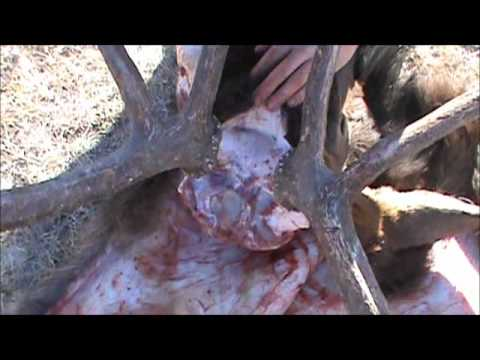 Caping an elk head - how to cape an elk