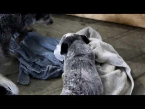 Blue Heeler/Australian Cattle Dog Puppies For Sale