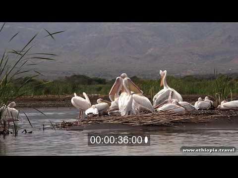 Ethiopia - Pelicans