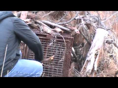 Mountain lion caught in hunter's trap