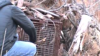 Mountain lion caught in hunter