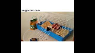 Guinea Pig and Hamsters: A Funny Compilation