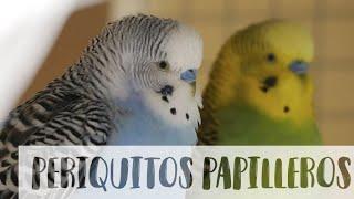 Crecimiento día a día de periquitos papilleros.