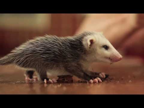 Baby Possum and the Crickets