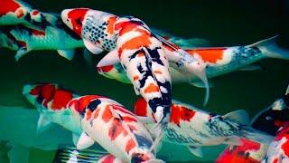 JUMBO KOI FISH! - Shintaro Koi Harvest Japan