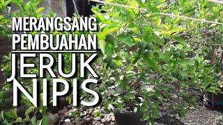 Cara Membuahkan Jeruk Nipis & Lemon #Tabulampot