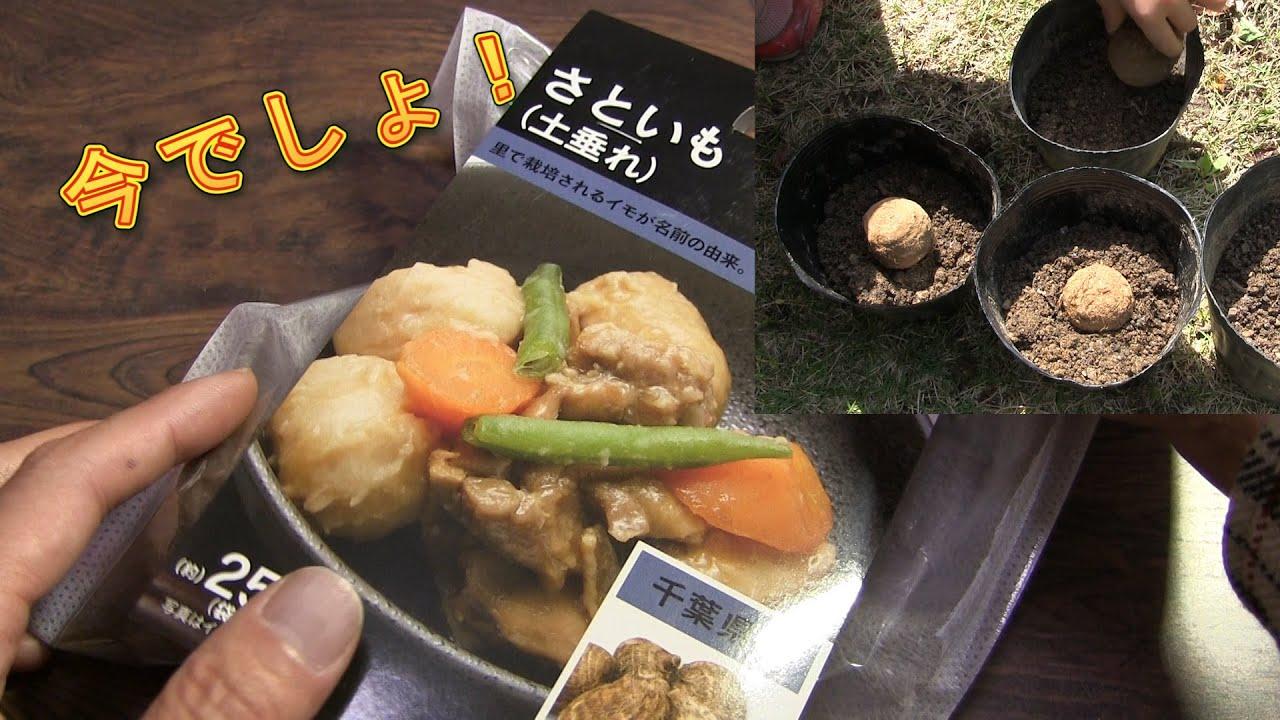 【家庭菜園】サトイモの育て方 植え付け 芽だし [Home gardening] Growing Taro Root Plant - Tips & Harvest 里芋