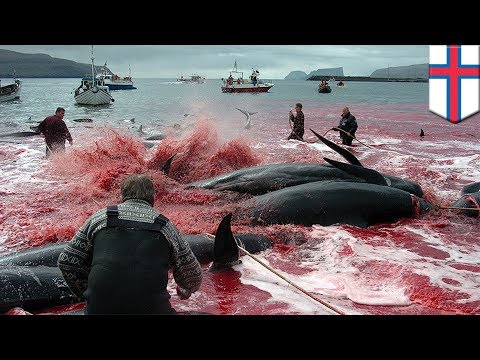 Pilot whale slaughter: annual hunt sees 160 dolphins butchered in the Faroe Islands - TomoNews