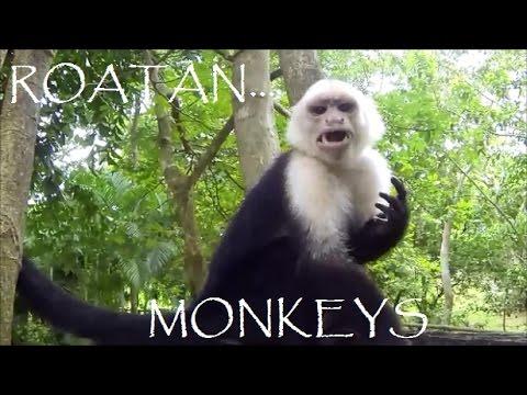Roatan Monkeys going WILD!!!  HD Video in Roatan
