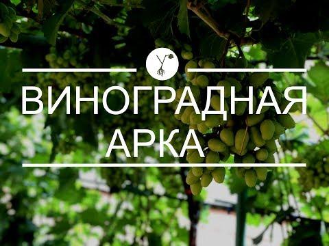 Как раскрыть потенциал виноградного куста? Виноградная арка