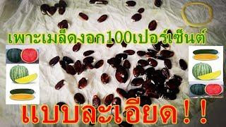 เพาะเมล็ดแตงโมแบบละเอียด ปลูกแตงโมหน้าฝน ปลูกแตงโมไว้กิน ปลูกแตงโมไว้ขาย