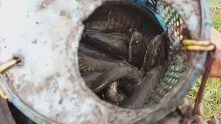 0767  Mùa Khô Chích Cá Lóc Cá Rô trong hang  l Theo Phá cũng có cá về nướng