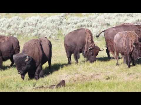Yellowstone Bison Funeral