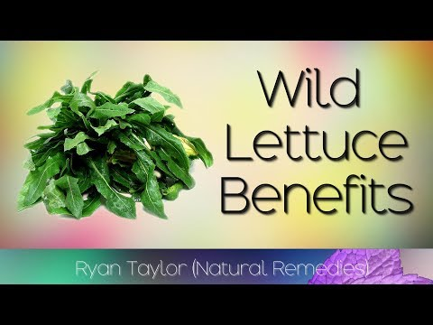Natural Painkiller Found in Your Backyard (Wild Lettuce)