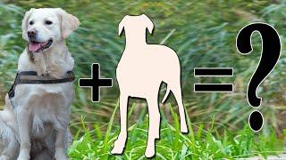 12 Unreal Golden Retriever Cross Breeds | Golden Retriever Mix Breeds