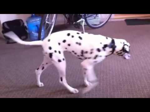 Dalmatian Vs Chihuahua