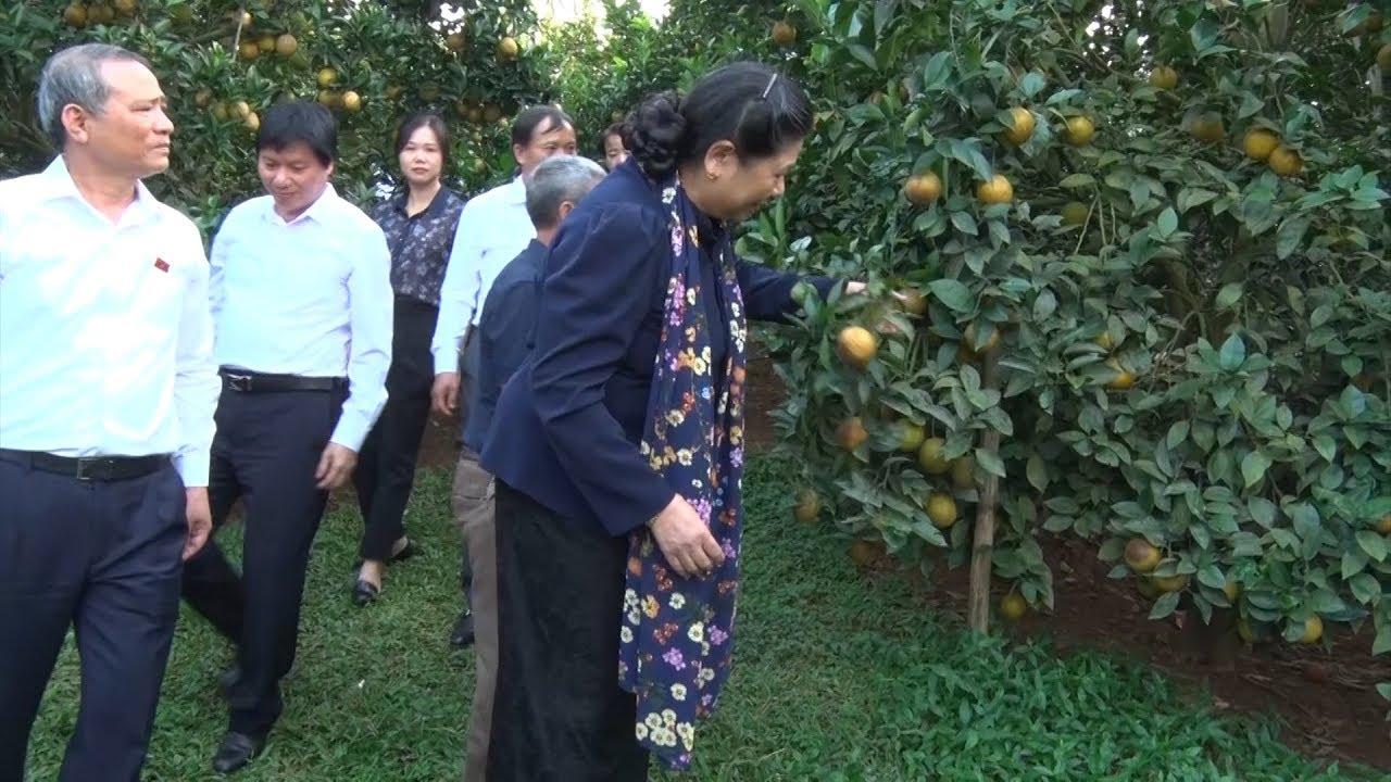 Đồng chí Tòng Thị Phóng thăm mô hình trồng cam tại Hòa Bình