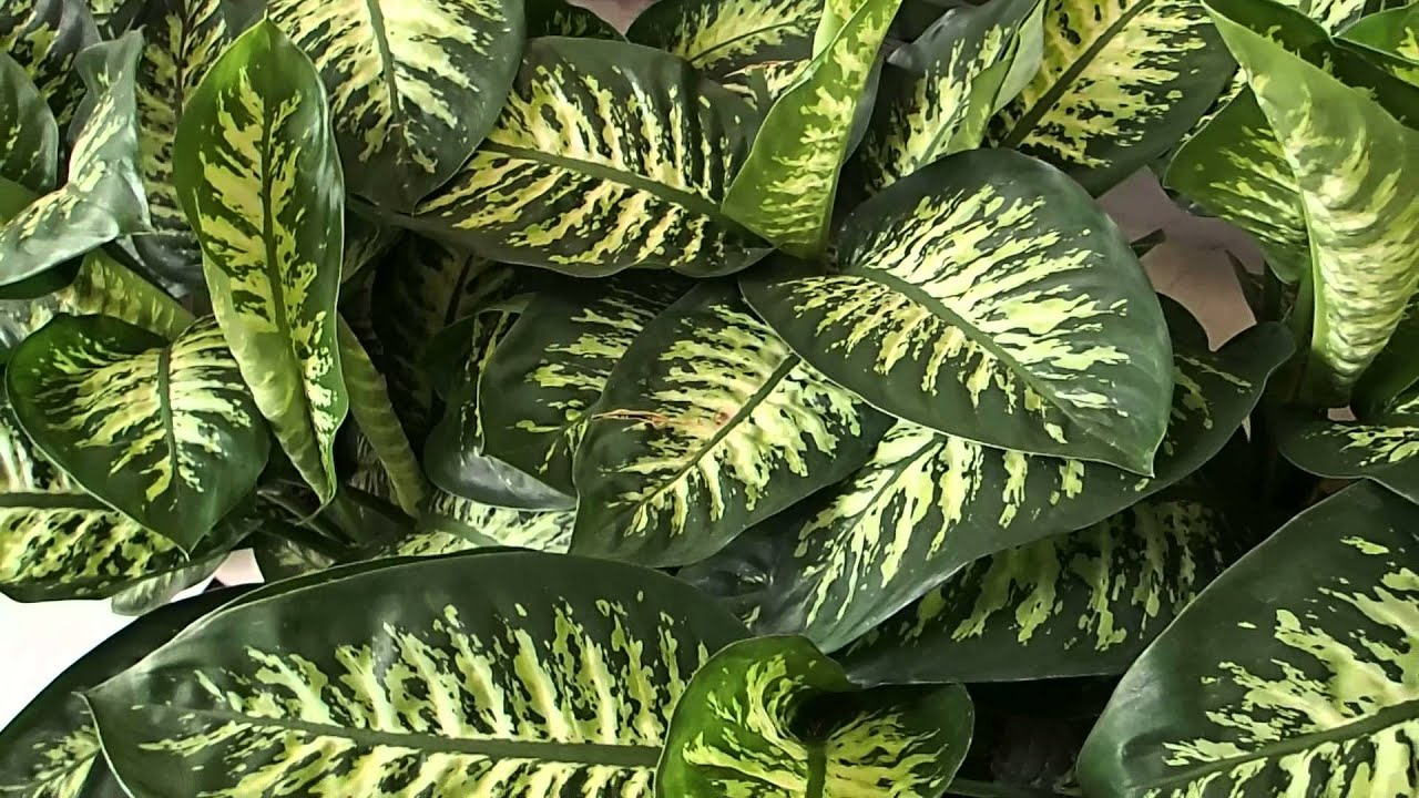 Dieffenbachia seguine tropic snow youtube for Plantas ornamentales de interio