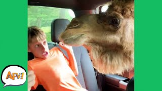 """When Animals """"ATTACK!"""" 😂    Funny Animal Fails   AFV 2020"""