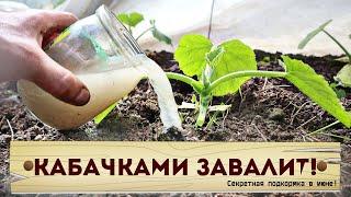 Пустоцвета кабачков не будет! Лить под корень не жалеть! урожай будет огромным!  Подкормка кабачков