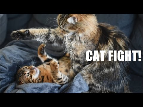 Bengal maine coon cat fight nikon d5500 youtube for What time is it in maine right now