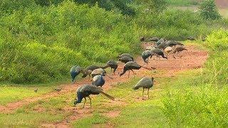 Более 100 павлинов живёт на участке жителя Индии