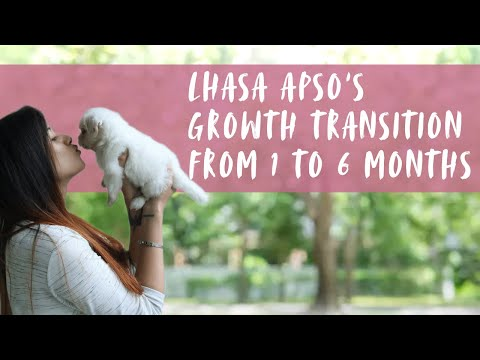 Lhasa Apso Puppy Growing Up From 1 Month To 6 Months