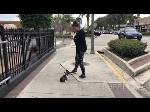 """5 Month Old Boston Terrier """"Juice"""" 