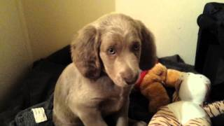 Diesel (long Hair Weimaraner Puppy) 8 Weeks 2 Days Old: First Night In New Home