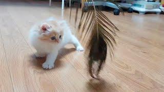 아기 고양이 마리, 깃털 장난감 처음 만나서 한 행동