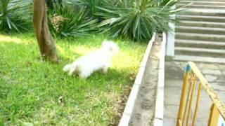 Westie Terrier & Yorkshire (habeche & Hababy)