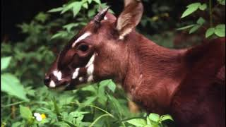 Saola Facts  Interesting Facts about Saola  Facts about Saola