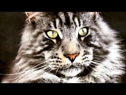 HouseTIGER ?? No..‼️ Just BIG MAINE COON CAT PURE RACE Meows Meows ..мейн куна мяукает мяукает