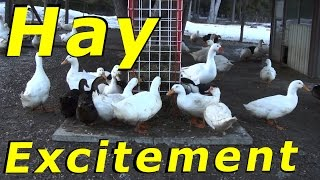 The Ducks Love Their Hay Treats #95 Wintering Ducks & Geese