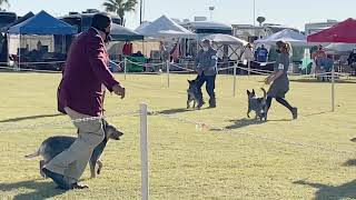 AUSTRALIAN CATTLE DOG ALL BREED DOG SHOW YUMA, AZ BLUE HEELER TIN ROOF ACD'S WILLOW & GAVIN